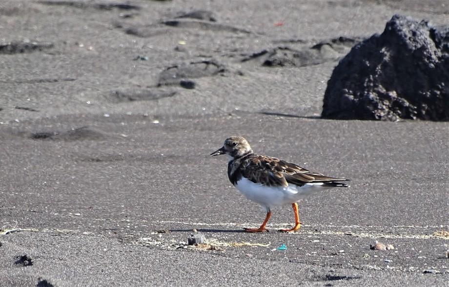 Vogel-frisst-Plastikmuell-Sao-Miguel-Azoren
