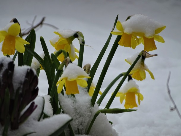 1-Narzissen-im-Schnee-Foto-Nadia-Baumgart