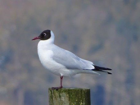 Chroicocephalus ridibundus–Lachmöwe-black-headed gull