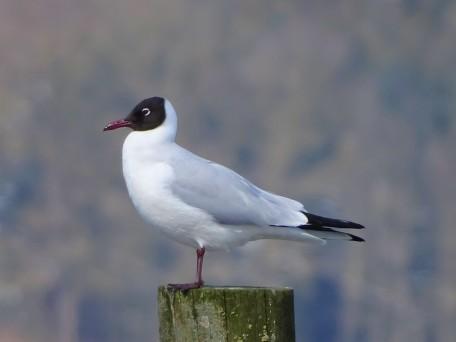 Chroicocephalus ridibundus–Lachmöwe-black-headed gull
