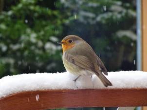 2-Rotkehlchen-im-Schnee