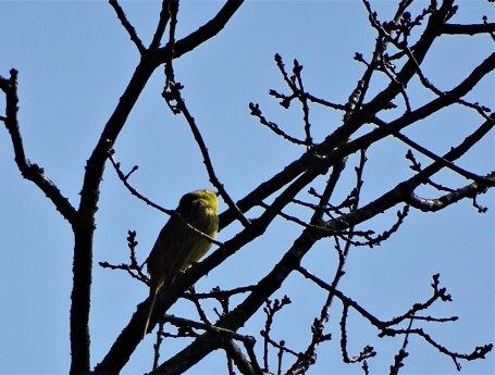 Yellowhammer-Goldammer-Bruant