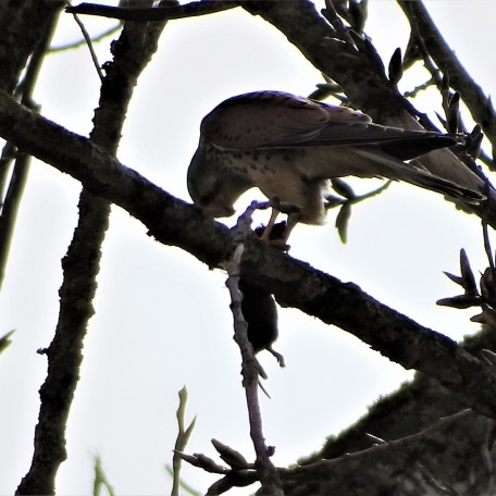 Falco tinnunculus - Turmfalke
