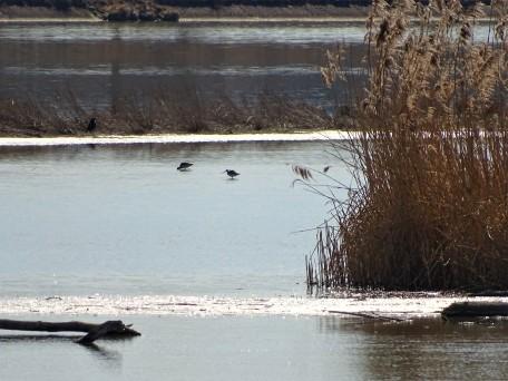 Uferschnepfen am Inn (Limosa)