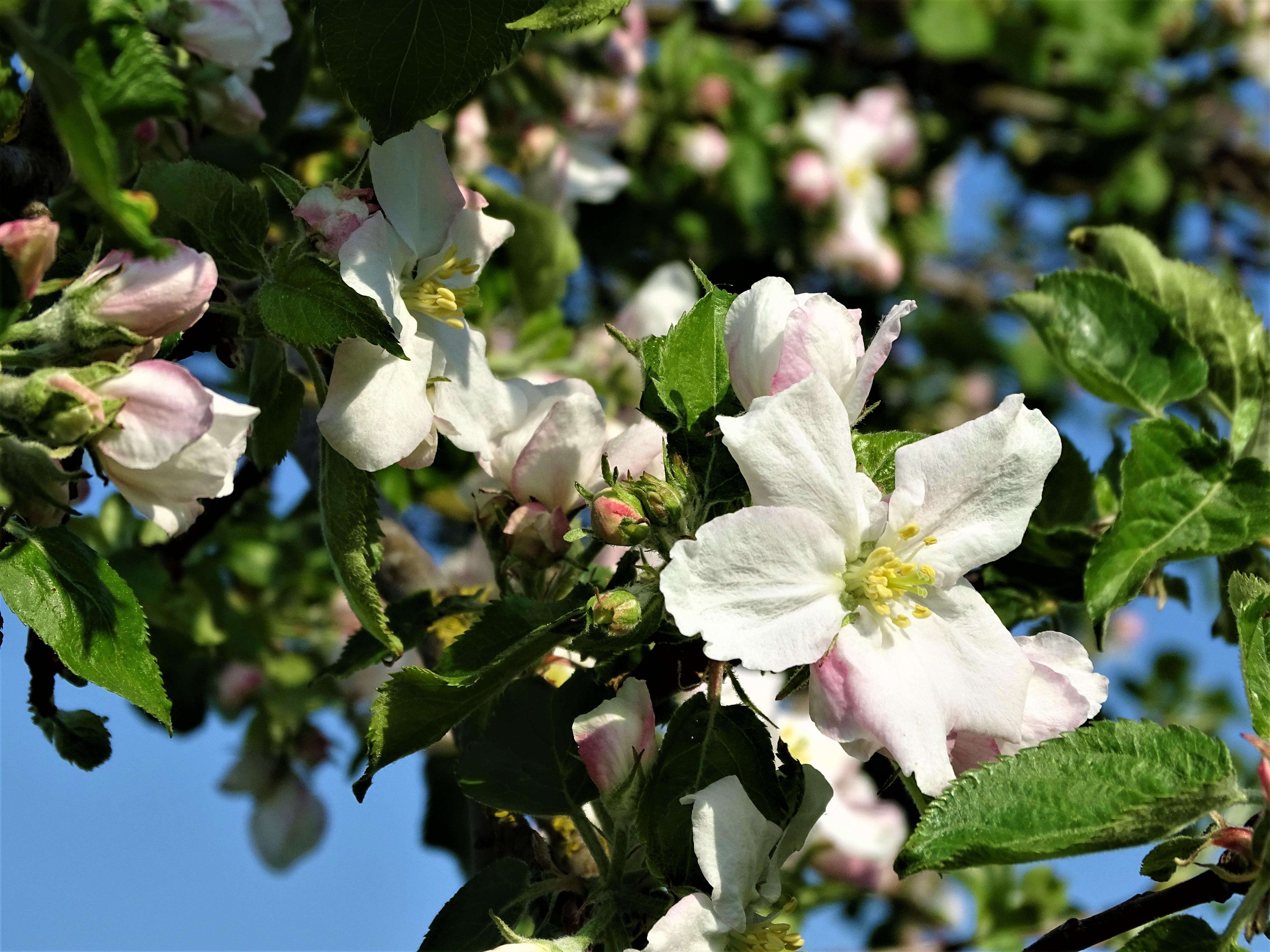 Apfelblüte-Kurpark-bad-Birnbach-Foto-Nadia-Baumgart