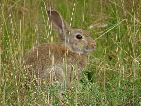 1-Kaninchen-Rottal-Nadia-Baumgart