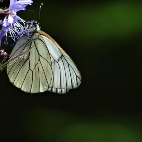 Baum-Weißling