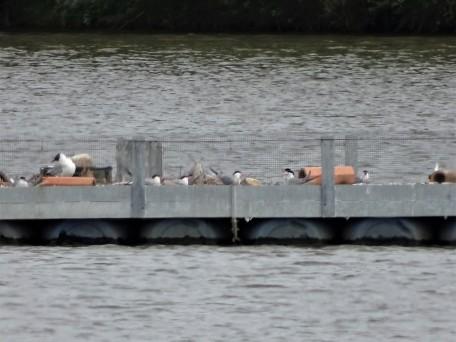 6-Fluss-Seeschwalben-LBV-Rottal