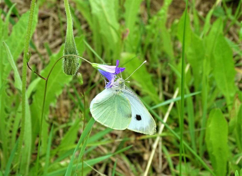 7-Glockenblume-Schmetterling-Nadia-Baumgart