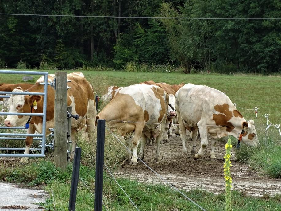 Milchkühe im Rottal