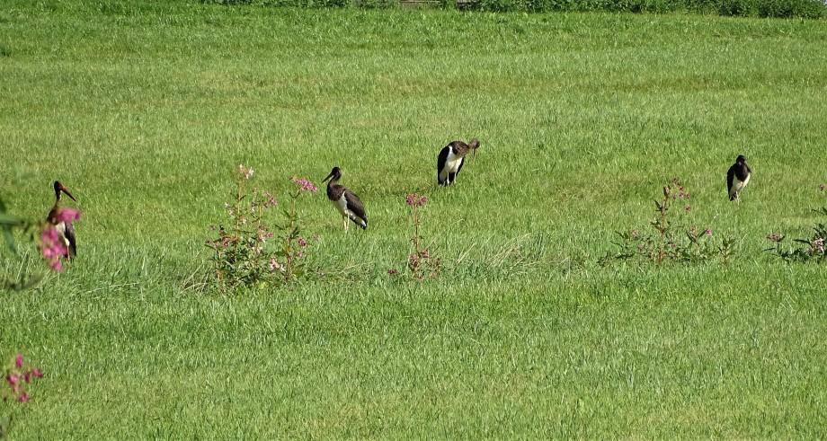 1-schwarzstoerche-rottal-inn-ciconia-nigra-bayern-bavaria-nadia-baumgart