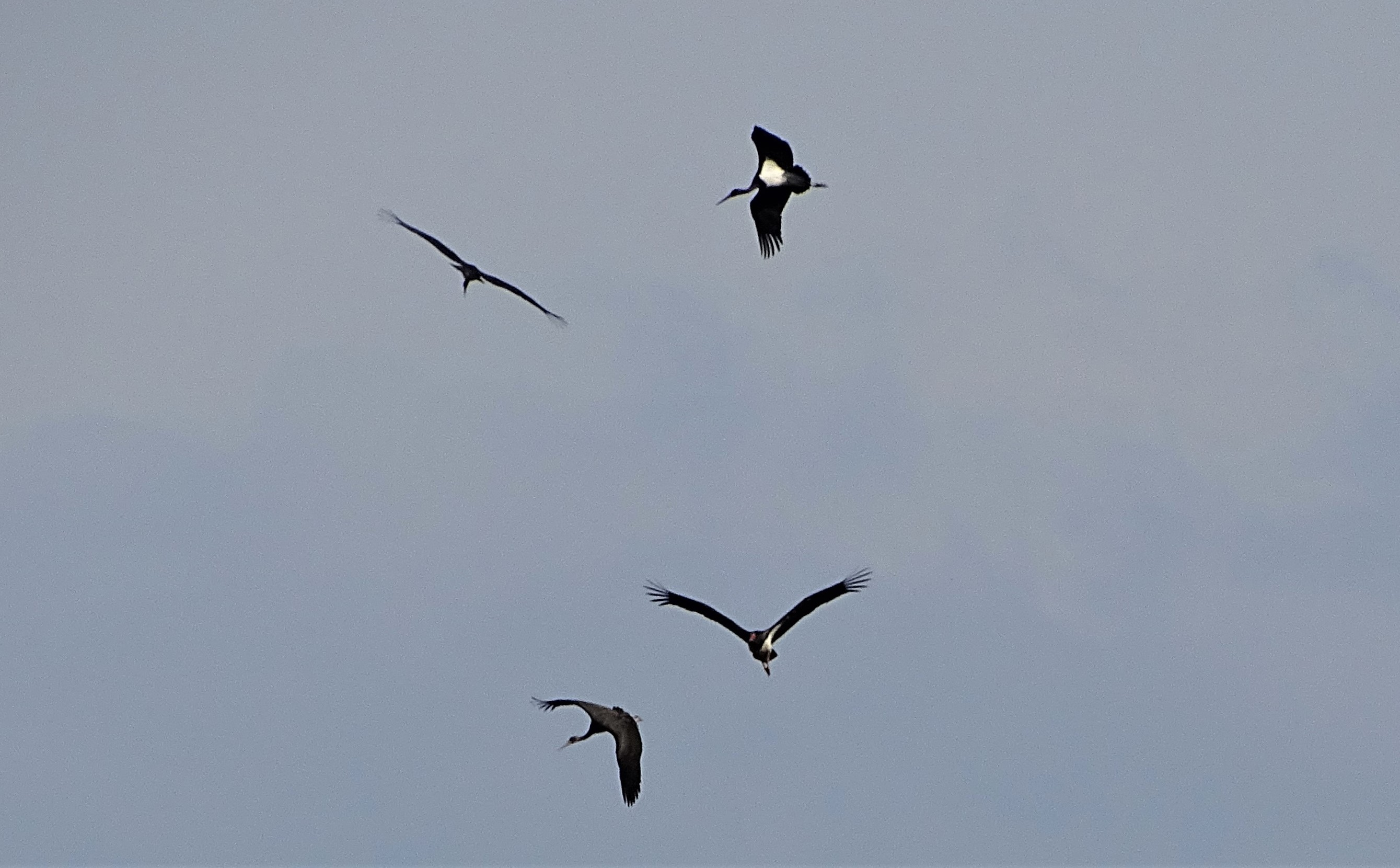fliegende-schwarzstoerche-rottal-inn-nadia-baumgart