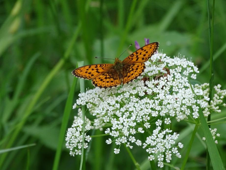 Schmetterling im Bayerischen Wald