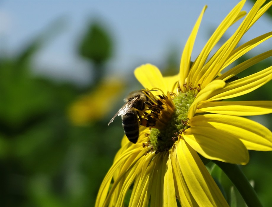 Blühstreifen locken Bienen an. #rottalinn