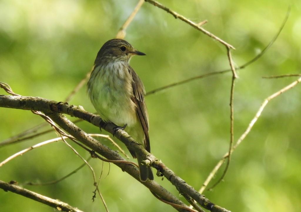 Ein schöner kleiner Vogel im Auwald - Pigliamosca comune - Grauschnäpper (musciscapa striata)
