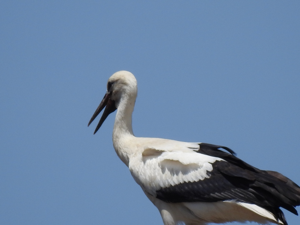 Birnbacher Storch im Storchennest