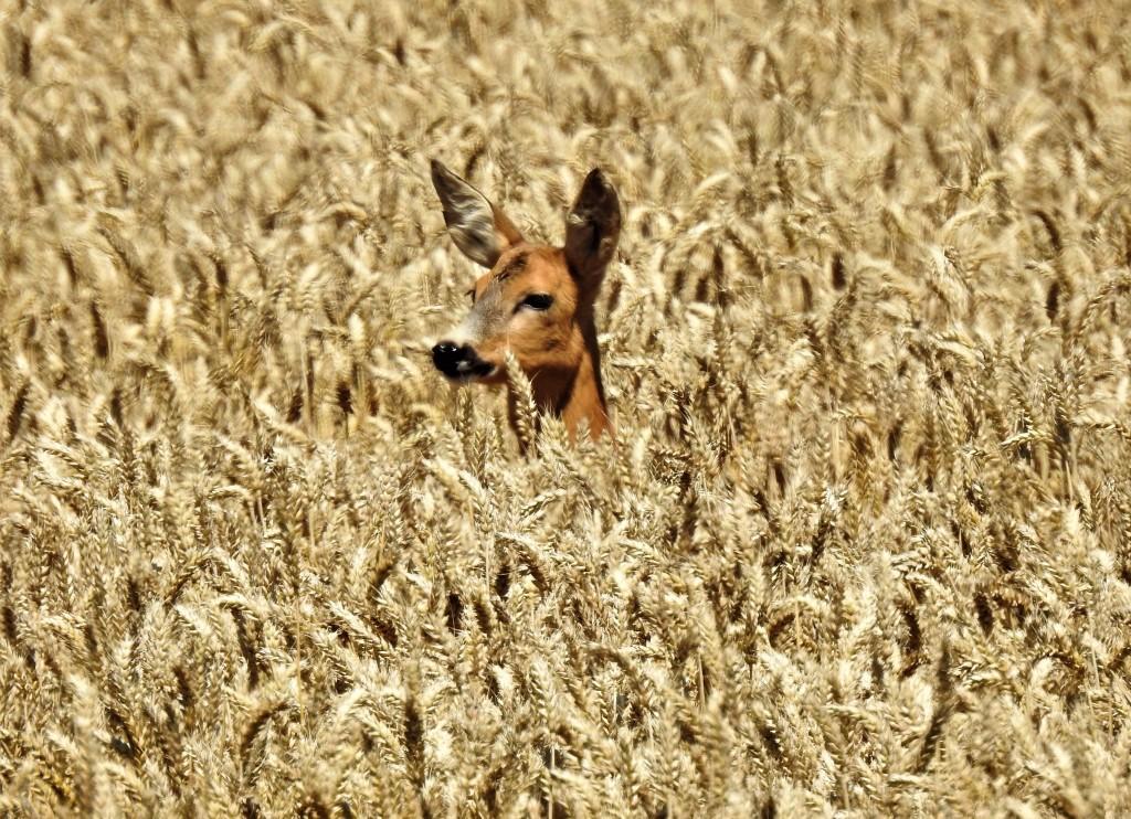 Ein Reh im Weizenfeld im Rottal