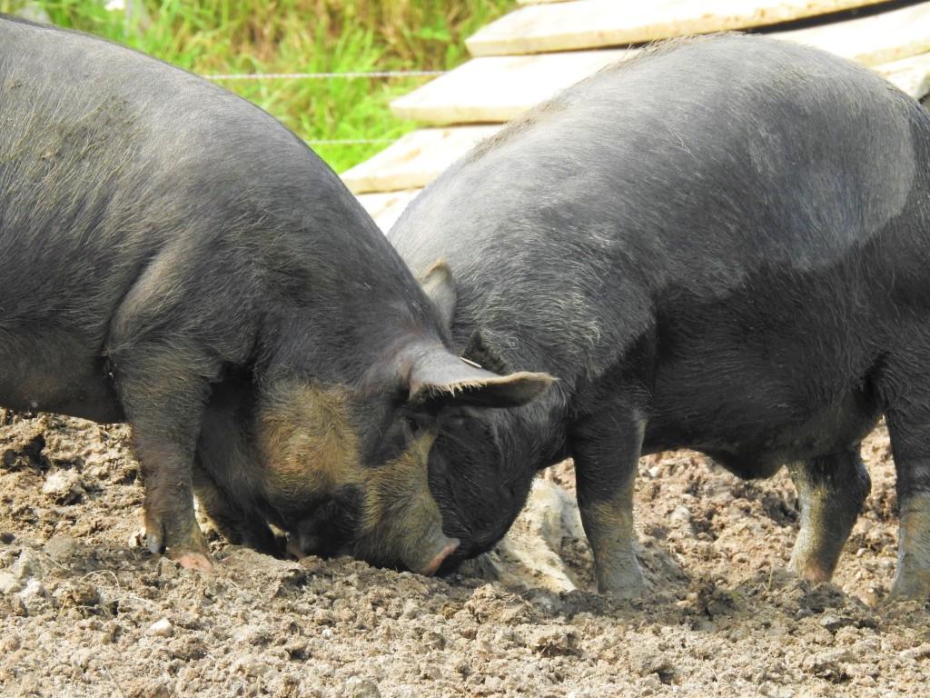 Schweine in Freilandhaltung im Rottal