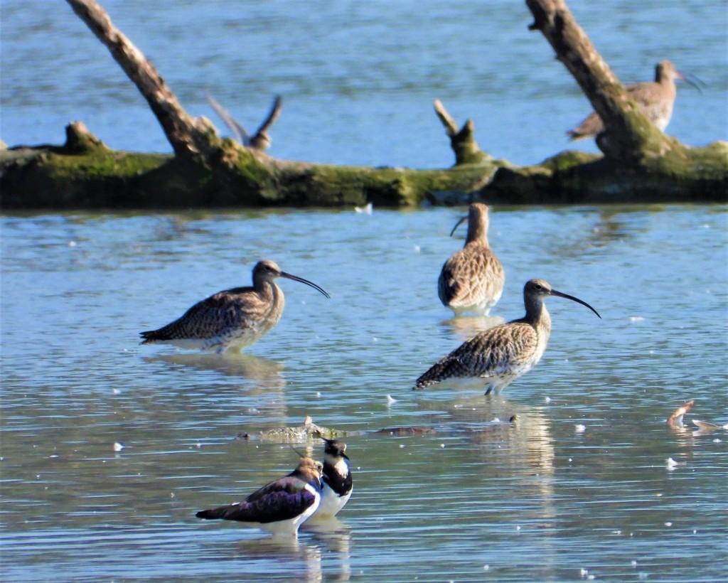 Brachvögel und Kiebitze sammeln sich im Herbst am Unteren Inn