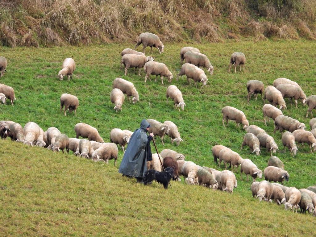 Schafe im Dezember in Bad Birnbach