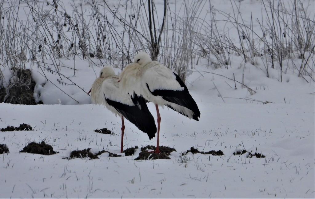 Weißstörche im Schnee