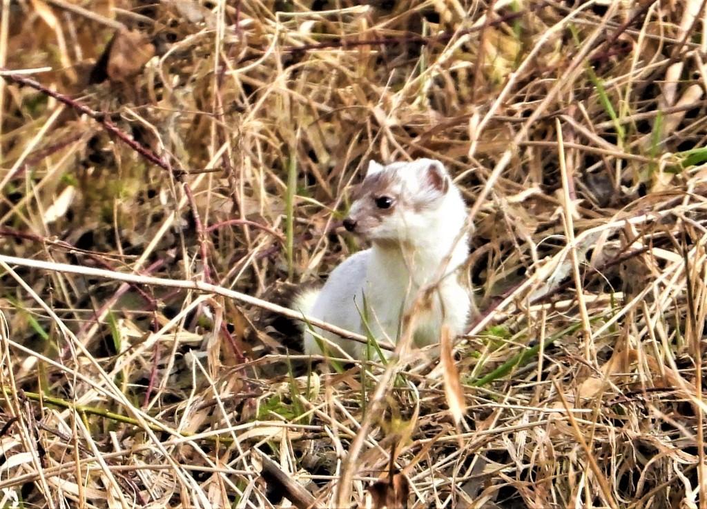Hermelin an der Rott in Bad Birnbach