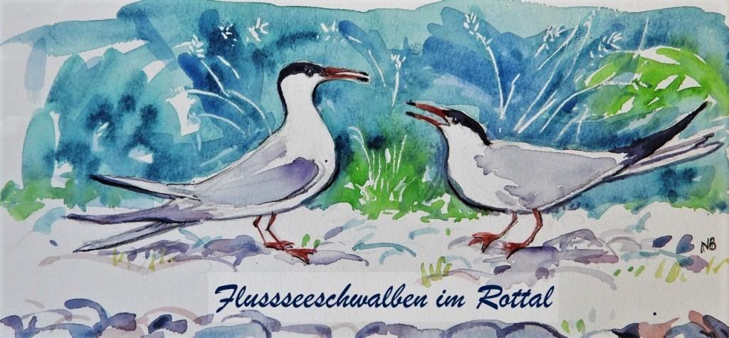 Flussseeschwalbe im Rottal - Vereinzelt brüten sie an der Rott