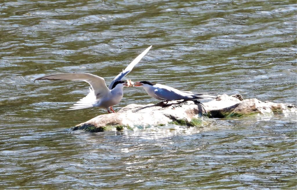 Balzende Flussseeschwalben an der Rott