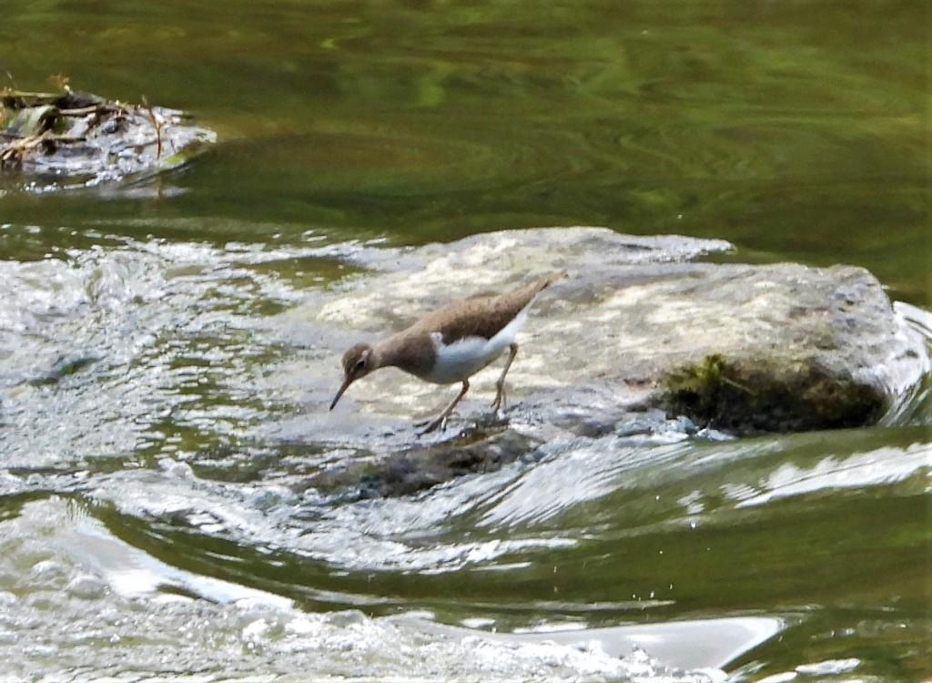 Flussuferläufer an der Rott in Bad Birnbach