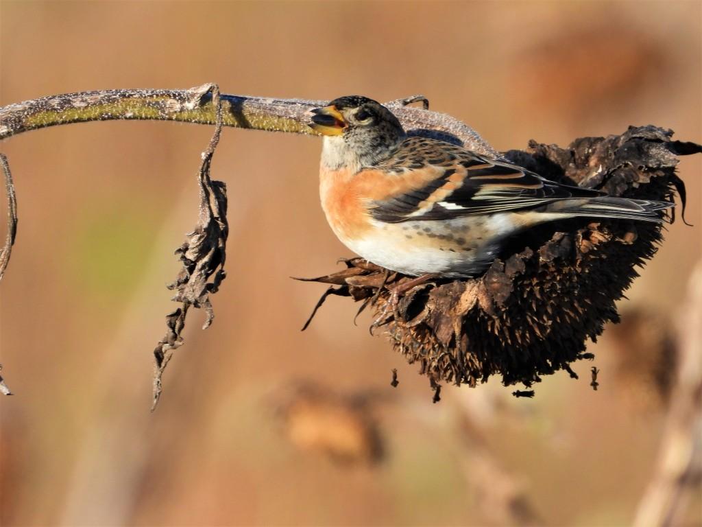Vogelbeobachtung - Der Bergfink
