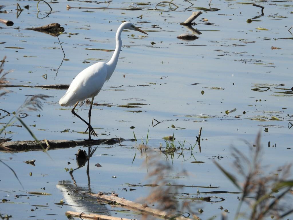 Vogelbeobachtung am Chiemsee - Silberreiher